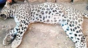 luipaard-turkije